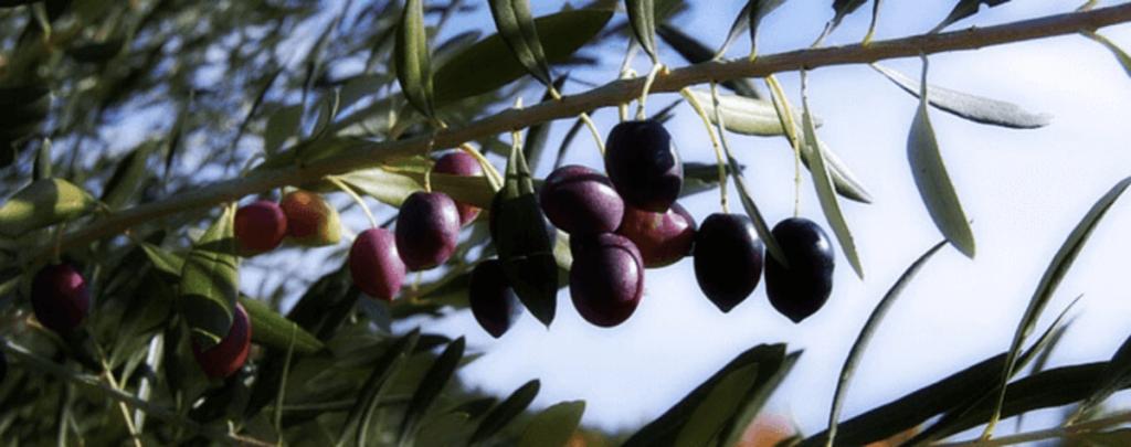 Olive Oil - Spain | ForeverBarcelona