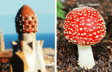 Catalan mushrooms eaten by Gaudi