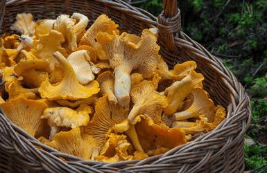 Spanish mushroom: rossinyols
