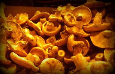Spanish mushrooms: rovellons