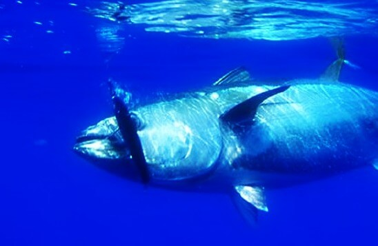 Barcelona fishing: bluefin tuna